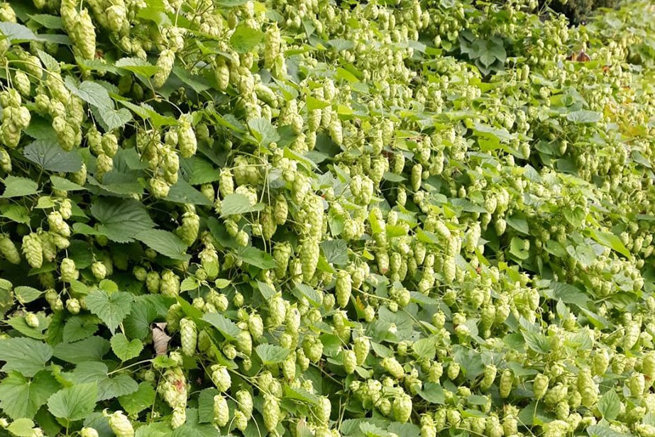 The hops before being picked