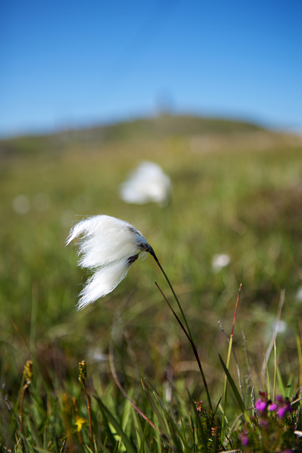Bog cotton with a distant view of Banba's Crown, Malin head where your guide will guide you through local flora and fauna that was part of local food culture