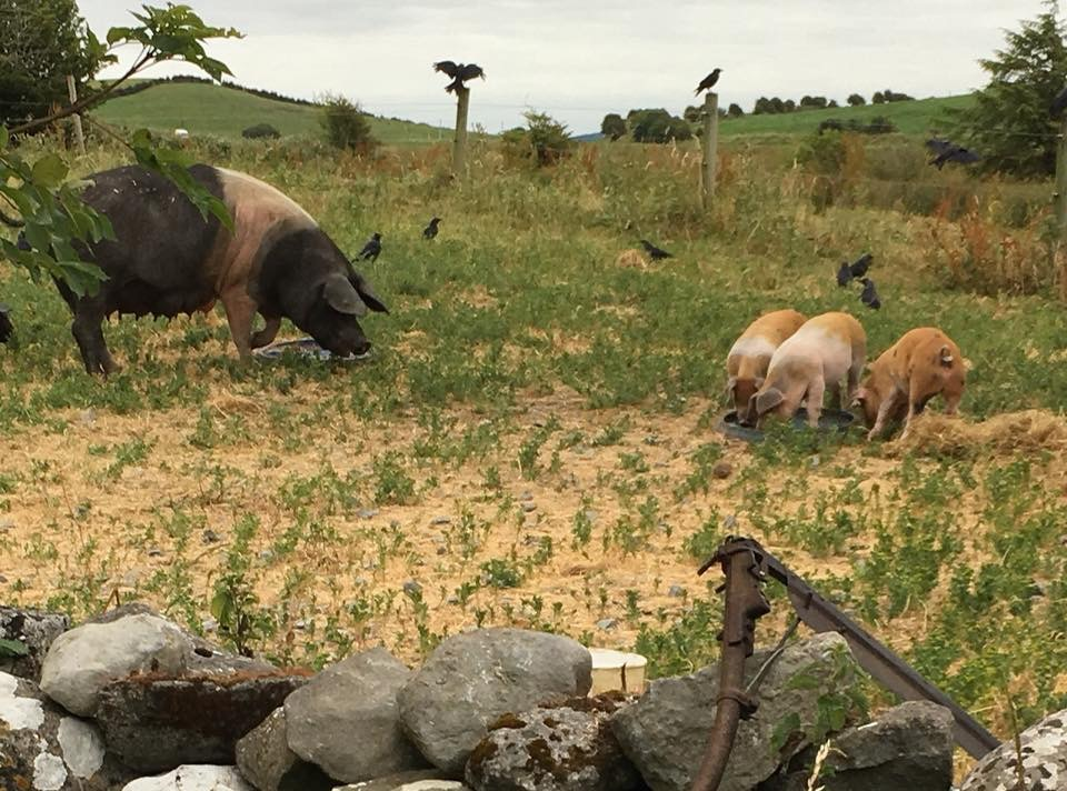 Burren Free Range Pigs - Saddleback rare breed pigs in the field outside your window, cows, hens and donkeys are the farm animals you will get to know, their habits, needs and behaviour.